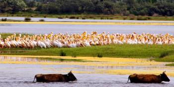 pelicani bianchi