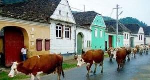 viscri-mucche