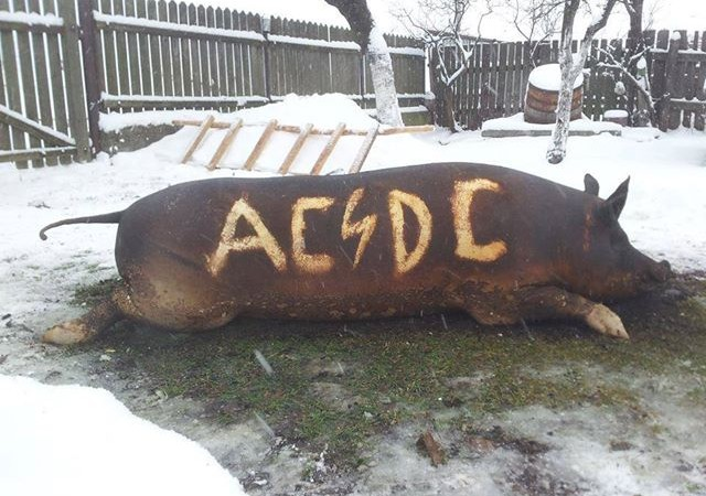 maiale-acdc